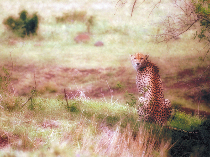 "Cheetah gives us the ""tourist view"".  Photo by Adam Angel"