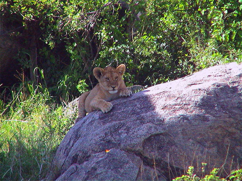 Lion Cub chills in the Serengeti
