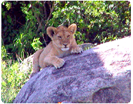 a Lion cub chills in the Serengeti
